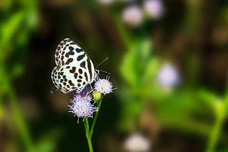 Небольшой черный и белый Бабочка сосать питание от цветка, общей Пьеро Фото со стока