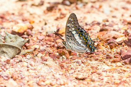 rajah: El raj� mariposa negro aliment�ndose de suelo en la naturaleza