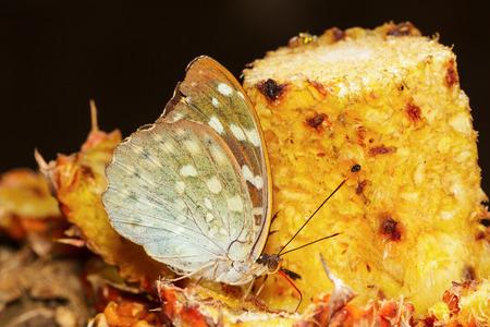 archduke: Female of Archduke butterfly feeding on fruit in nature Stock Photo