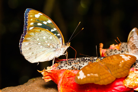 archduke: Female of Archduke butterfly sucking water from fruit with Baron