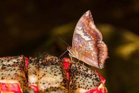 rajah: La mariposa Tawny Rajah chupar alimentos a base de frutas