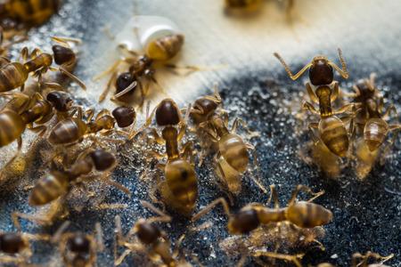 Tiny household thief ants feeding on sweet