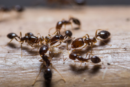 red ant: Close up of red imported fire ants  Solenopsis invicta  or simply RIFA Stock Photo