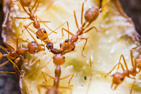 Close up of red weaver ants, teamwork or red weaver ants rip apart their prey photo