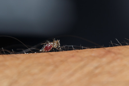 culicidae: Mosquito is sucking blood from human hand Stock Photo