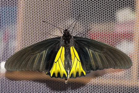 Male common birdwing butterfly open wings and hanging on net