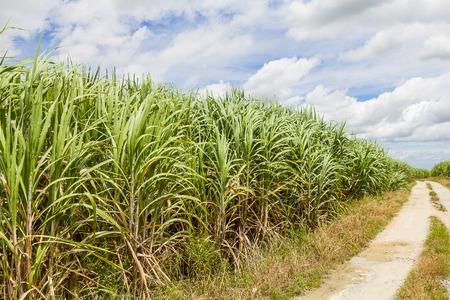 Поле сахарного тростника и дорога с белое облако в Таиланде Фото со стока