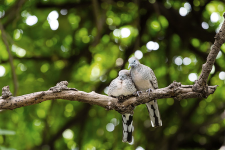 Couple Zebra dove relaxing branch on tree and green background photo