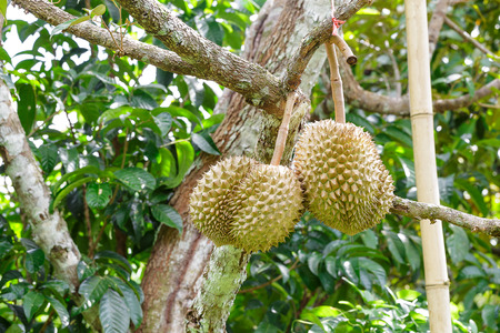Two fresh durians on tree in farm