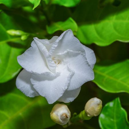 White flower cape jasmine ,  common gardenia photo