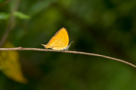 Orange common yamfly butterfly on branch