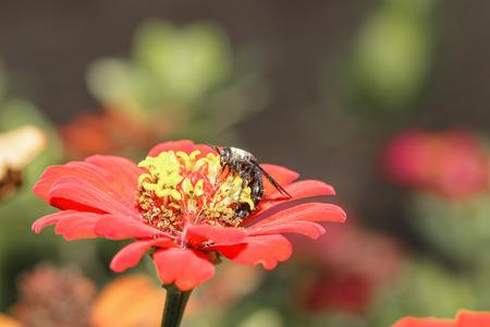 stamen wasp: Black flower wasp on orange zinnia in garden