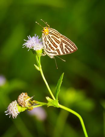 silverline: Club silverline butterfly resting on flower