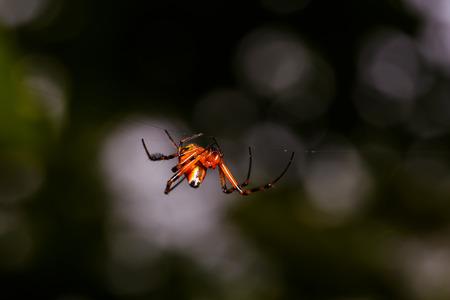 segmentata: Orange spider with black legs creating web