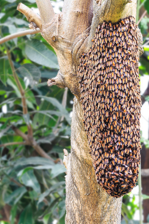dorsata: Swarm of honey bee clinging on tree