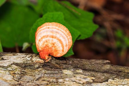 Orange выращивания грибов на древесину