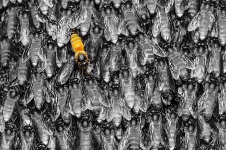 dorsata: Yellow bee in black background Stock Photo