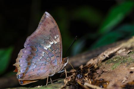 rajah: La mariposa est� chupando raj� escasa comida de suelo