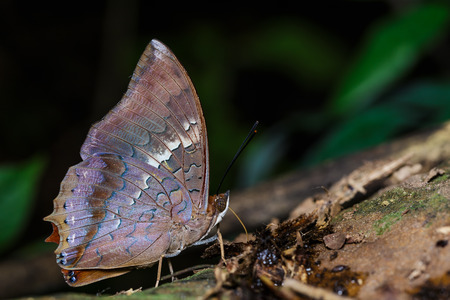 rajah: The scarce rajah butterfly is sucking food from ground