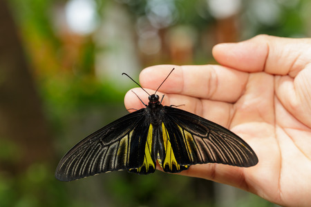 Common Golden Bird-wing butterfly open wing hanging on hand Stock Photo