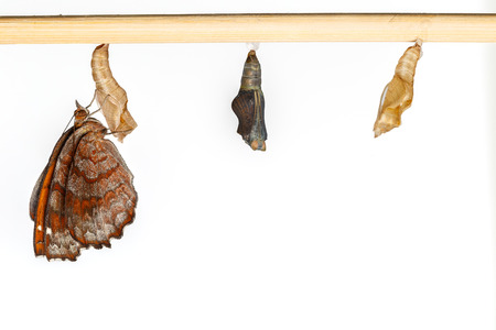 molting: Angled castor pupa and butterfly on white background