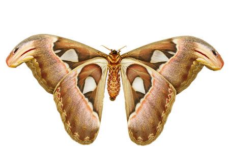 白い背景の上の女性 attacus アトラス蛾