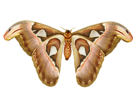 Female attacus atlas moth on white background