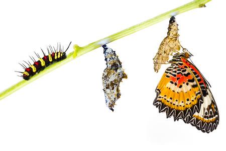 metamorfosis: Lacewing leopardo (Evantes cyane Cethosia) mariposa, oruga, pupa y emergentes Foto de archivo