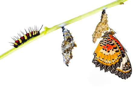 oruga: Lacewing leopardo (Evantes cyane Cethosia) mariposa, oruga, pupa y emergentes Foto de archivo