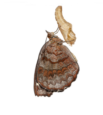 Angled Castor butterfly emerged from pupa on white