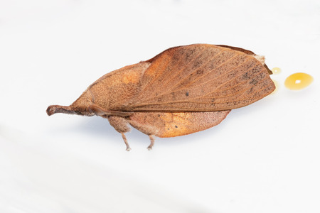 lappet: Male of brown lappet moth , Gastropacha pardale Stock Photo