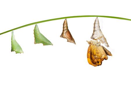 蛹から白に黒い王子蝶の女性への変換