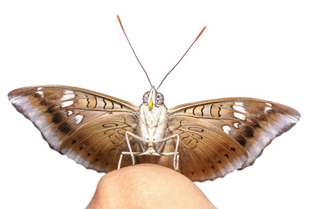 baron: Close up male of mango baron butterfly on finger with white background