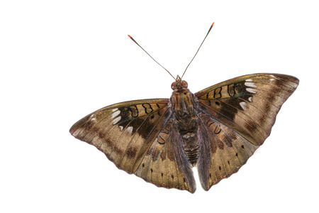 critter: Close up of male mango baron butterfly on white background