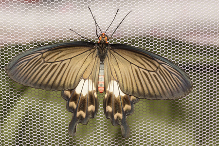 swallowtails: Common Rose butterfly open wings and hanging on net