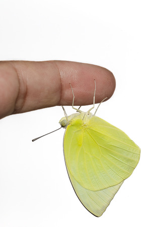 emigrant: Male Lemon emigrant butterfly hanging on hand Stock Photo