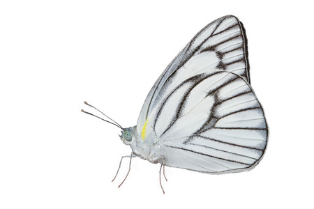 white butterfly: Male of stripped albatross butterfly isolated with clipping path Stock Photo