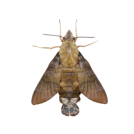 sphingidae: Macroglossum sitiene moth isolated on white with clipping path