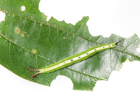 emerge: Top view caterpillar of siamese black prince butterfly on leaf