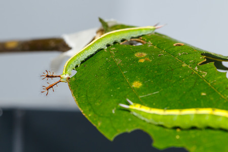 Close up caterpillar of siamese black prince butterfly on leaf