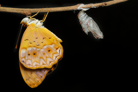 emerged: Female common leopard butterfly emerged from cocoon on black background Stock Photo