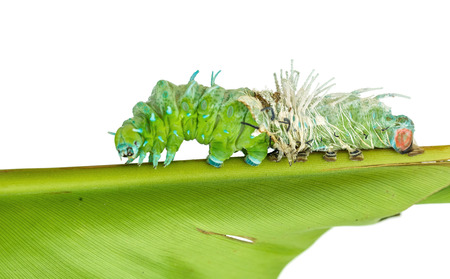 molting: Molting skin of largest caterpillar attacus atlas moth on white background Stock Photo