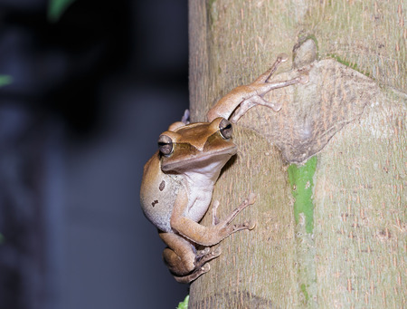 arboreal frog: Brown frog climbing and hiding on tree