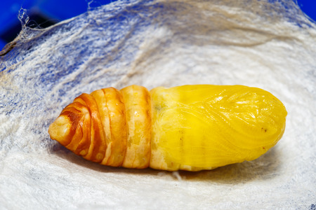 molted: Molted cocoon of atlas moth from caterpillar stage Stock Photo