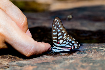 jay: Common jay butterfly with human figner near water
