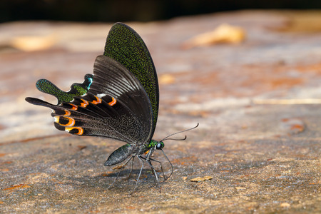 peacock butterfly: Paris peacock butterfly sucking food from wet floor