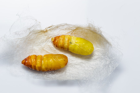 cocoons: Molted cocoons of atlas moth from caterpillar stage
