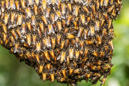 dorsata: Big bee worker holding together for beehive