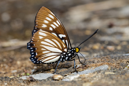 stomach bug: The Common Courtesan butterfly is sucking food Stock Photo