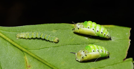 simplex: Caterpillar and pupa of Genusa  simplex moth on leaf
